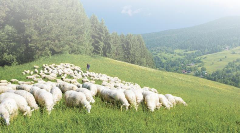Sheeps wool